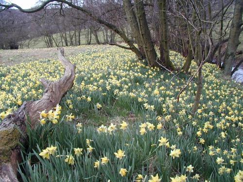 Farndale wild Daffodils, Kirkbymoorside ~ Photo Credit:  Rogeruk ©