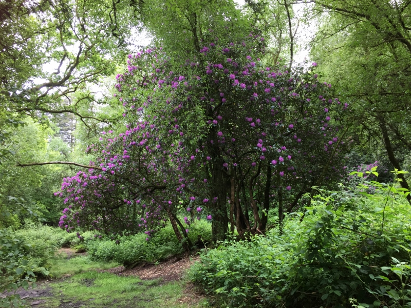 One of the many ancient Rhododendrons in full bloom
