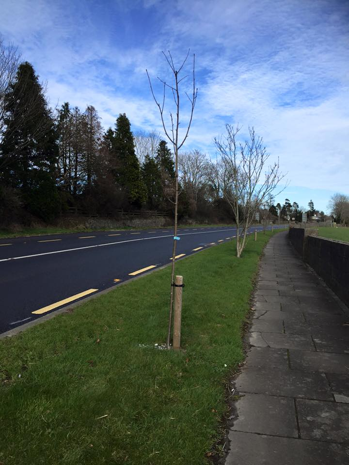 Rowan trees planted along the approach road by Ferns Tidy Towns